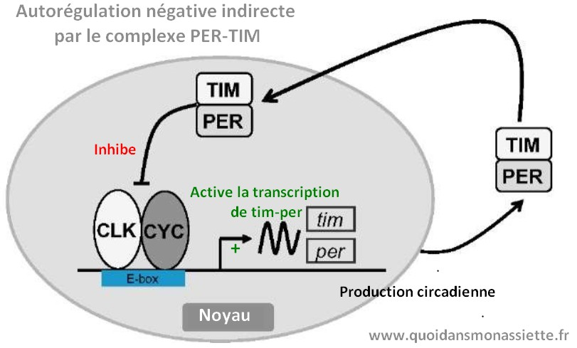 mecanisme rythmes circardiens chronobiologie gene per-tim