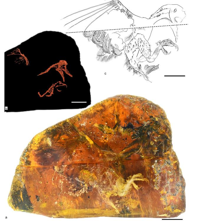 énantiornithe oiseau dinosaure ambre Myanmar mines