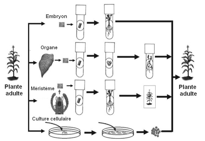 schema culture cellulaire in vitro