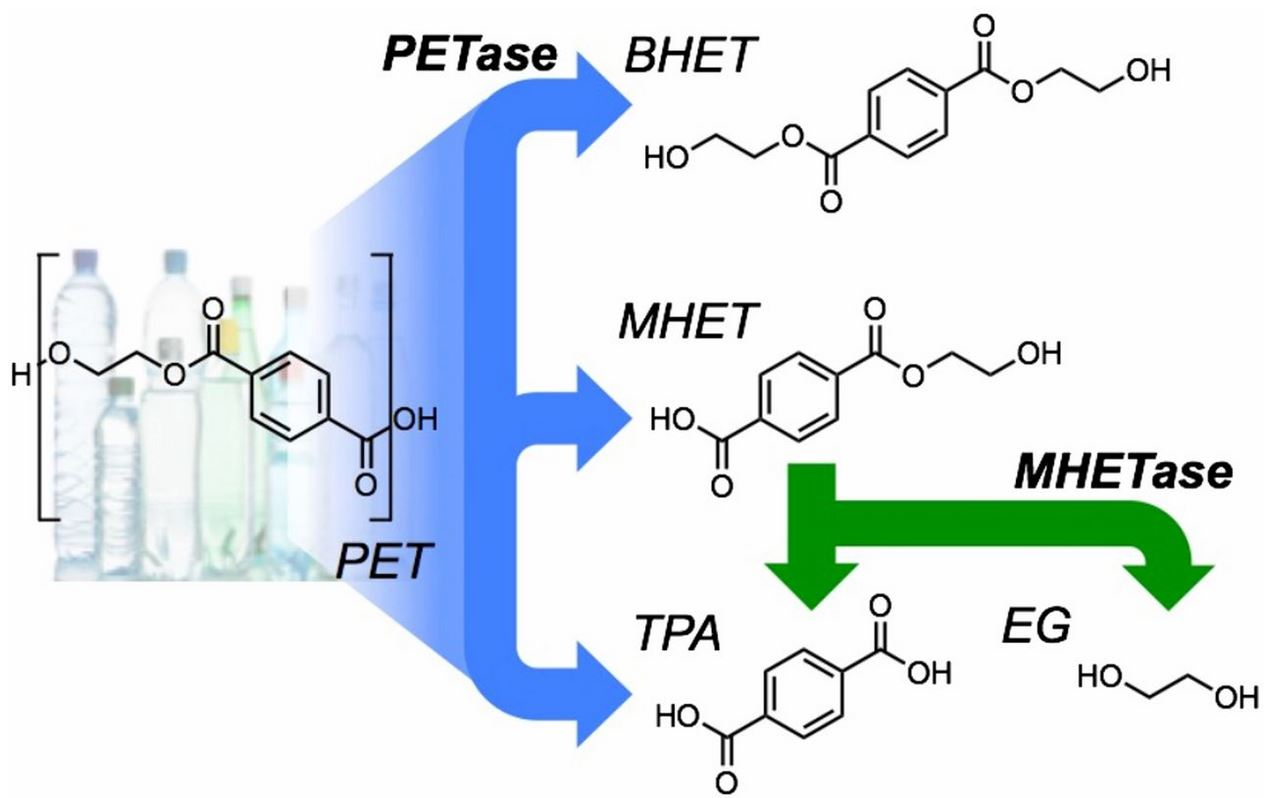 PETase enzyme mecanisme catabolisme