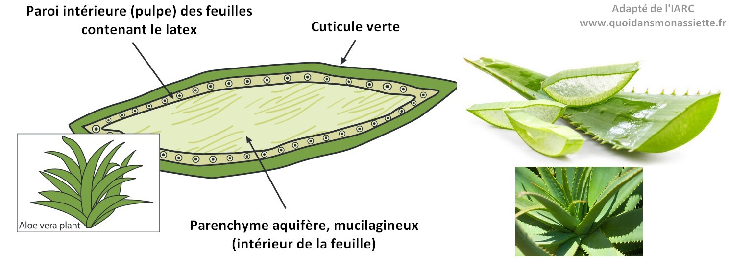 aloe vera feuille schema structure gel latex