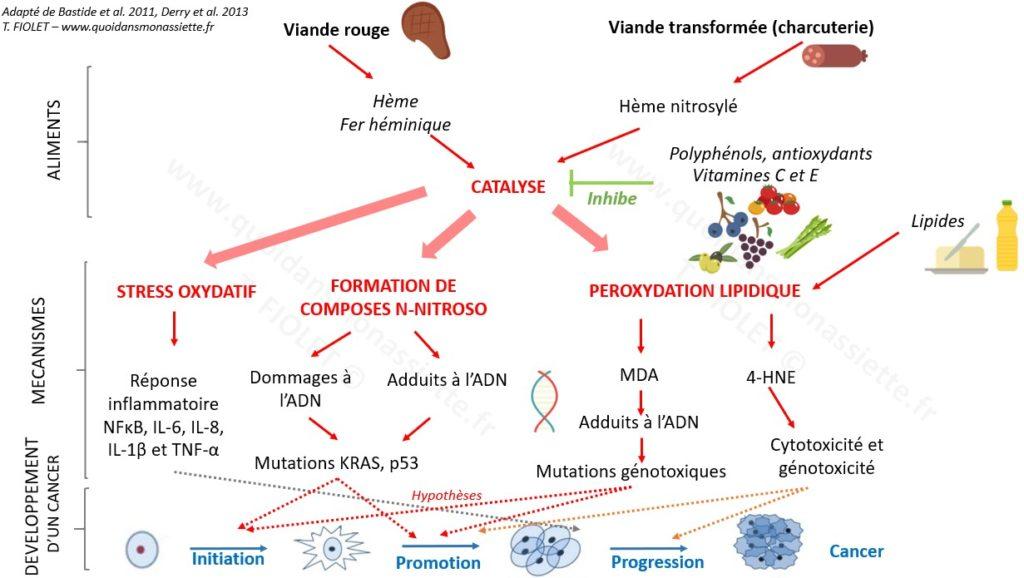 viande rouge transformée mécanisme cancer biologique pathways