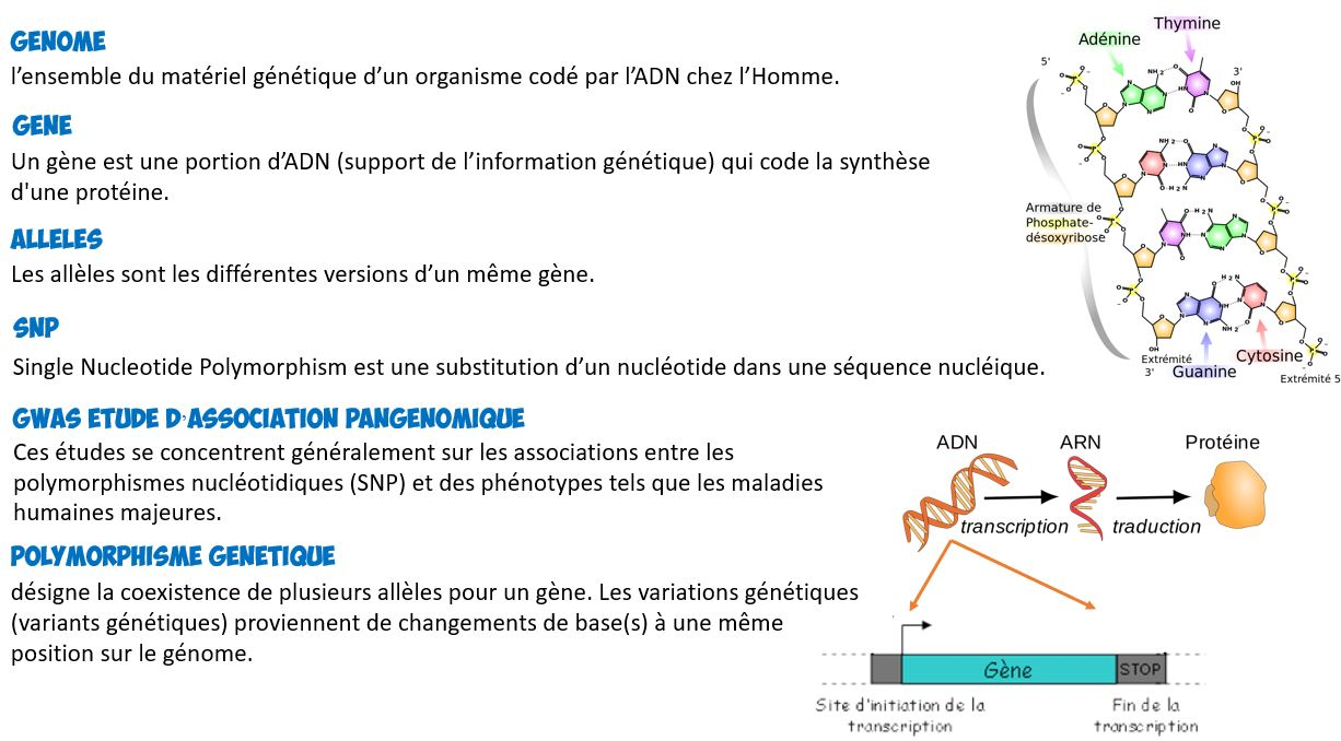 Lexique génétique adn allele gene definition snp