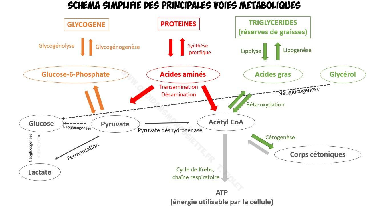 Metabolisme lipides proteines glucides simplifié voies