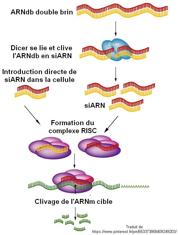 mécanismes ARN interférence ARNsi