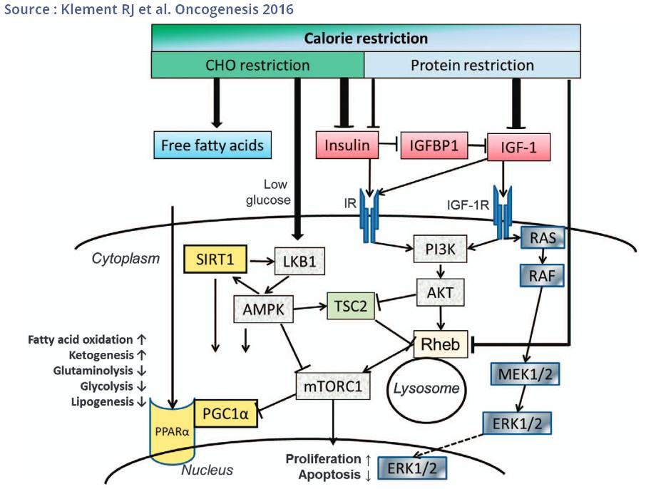mecanisme action jeûne cancer regime restriction