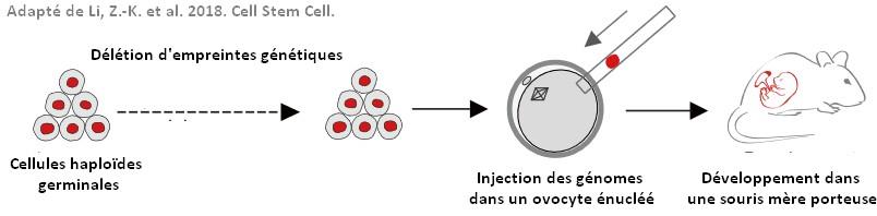 souris reproduction asexuée parthénogenèse empreintes génétiques