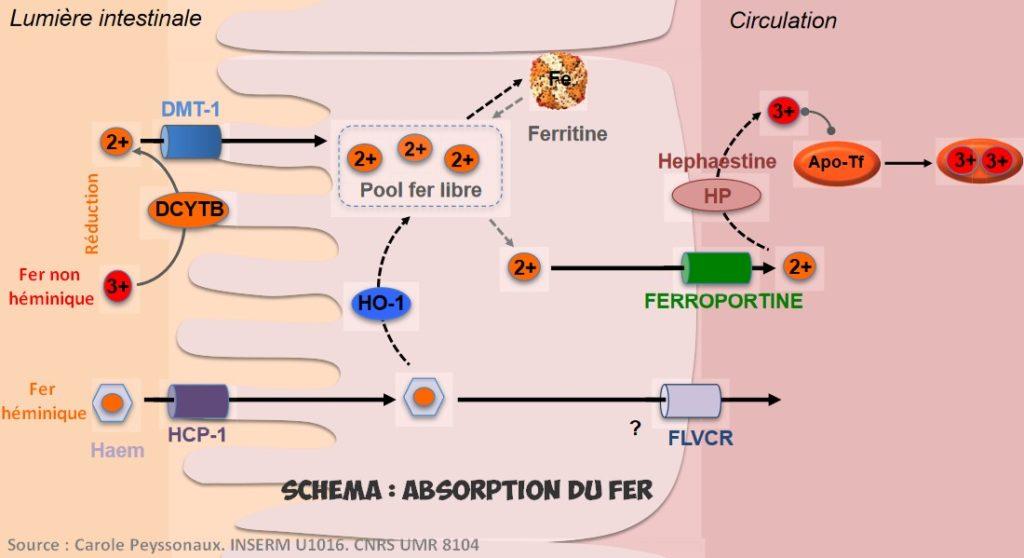 absorption du fer